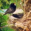 Fekete rigó, állatok a kertben